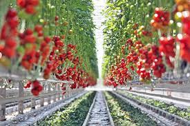 Tuyển gấp 25 Nam/Nữ làm nông nghiệp thu hoạch cà chua tại Nhật Bản tháng 06/2018