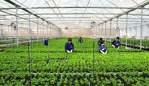 Đơn hàng lương cao trồng rau trong nhà kính XKLĐ Nhật Bản