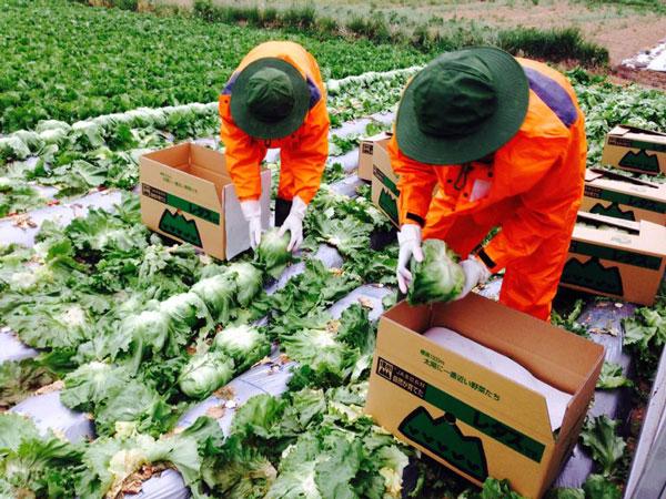 Tuyển gấp 10 nam làm nông nghiệp trồng rau tại Saitama, Nhật Bản