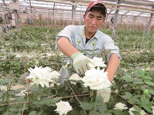 Tuyển gấp 15 nam xuất khẩu lao động trồng hoa tại Nhật Bản tháng 09/2017