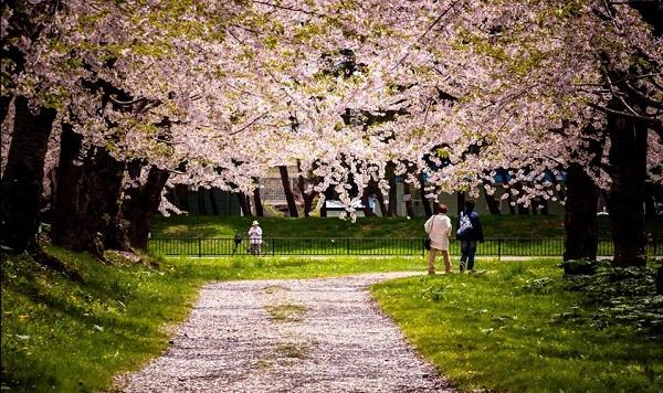 Mách bạn 7 địa điểm đẹp nhất để ngắm hoa anh đào tại Nhật Bản 2