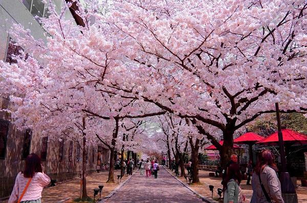 Mách bạn 7 địa điểm đẹp nhất để ngắm hoa anh đào tại Nhật Bản 4