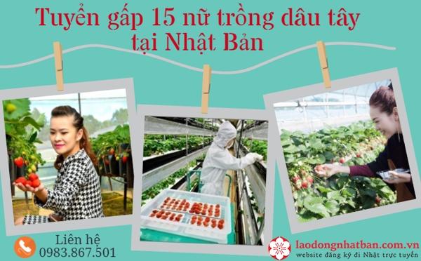 HOT: Cần gấp 15 nữ lao động sang Nhật Bản làm việc theo đơn hàng trồng dâu tây