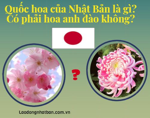 Quốc hoa của Nhật Bản là gì? Hoa anh đào có phải quốc hoa của Nhật Bản không?
