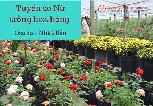 Tuyển 20 Nữ trồng hoa hồng tại Osaka Nhật Bản, lương 40 triệu