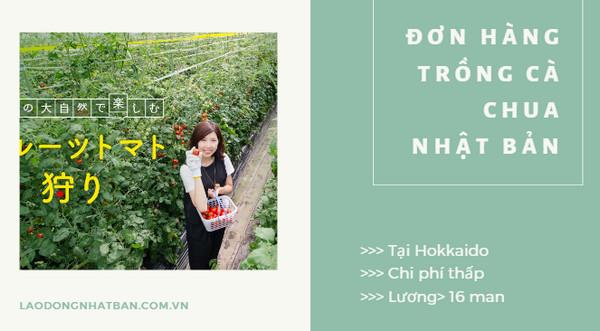 Đơn hàng trồng cà chua tại Hokkaido: thu nhập 35 triệu/tháng