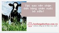 Tại sao nên chọn đơn hàng chăn nuôi bò sữa?