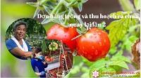 Tuyển gấp 27 Nữ trồng và thu hoạch cà chua quay lại lần 2 tại Miyagi