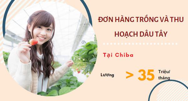 Cần gấp 24 nam/nữ đơn hàng thu hoạch dâu tây tại Chiba - thu nhập 30 triệu/ tháng